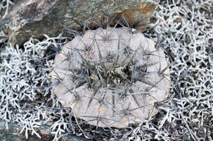 riojense ssp paucispinum