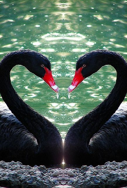 ~~Mirrored ~ black swans by aussiegall~~