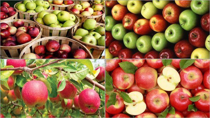 Elma, birçok çeşidi bulunması nedeniyle ekşisi ve tatlısı ile herkesin mutlaka beğendiği meyvelerden biridir. Eski dönemlerden beri faydaları ile ön plana çıkan elma, içeriğindeki vitaminler sayesinde vücut için doğal bir antioksidan görevi üstleniyor.