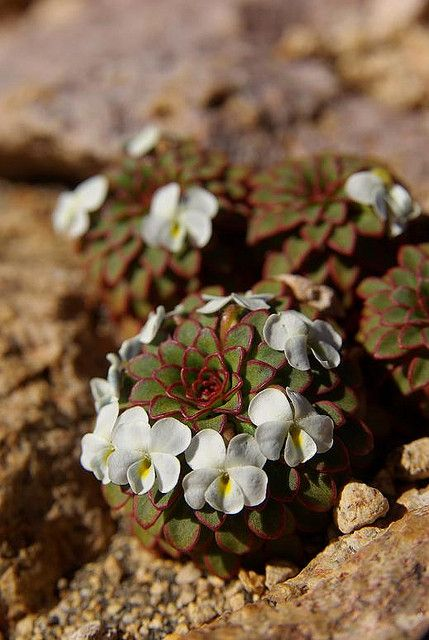 Viola sacculus, Andes Mnts of S.A. The rosulate violas, which have typical 'hearts-ease' flowers but leaves arranged in a rosette rather like a sempervivum, are a specialty of the Andes Mnts. Alpine Garden Society