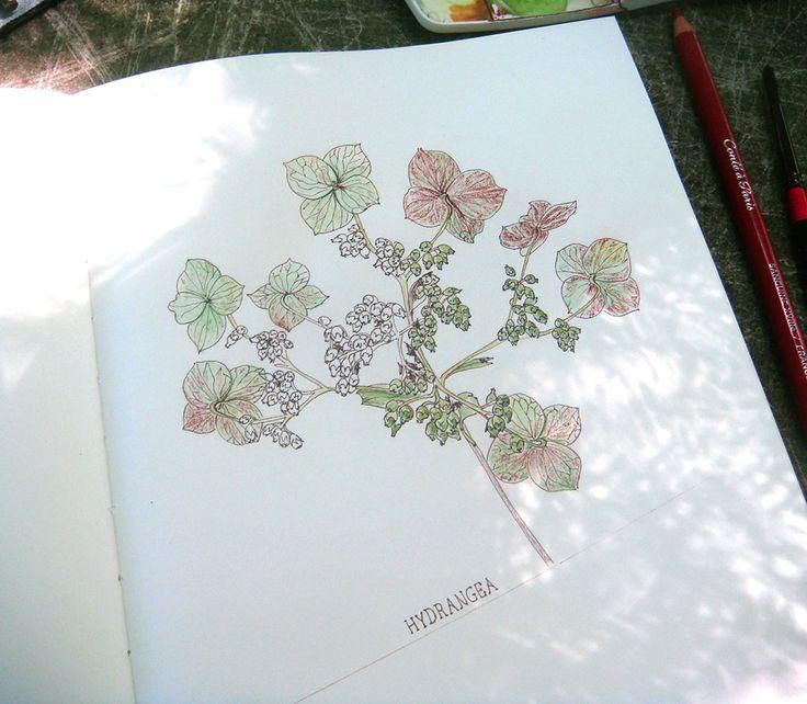 Hydrangea - by Alina Draguceanu.  Ink, red chalk and watercolour.  Cerneală, sanguină și acuarelă pe caiet de schițe.