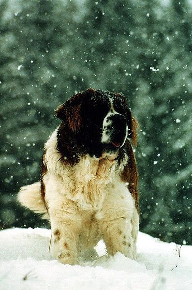 St Bernard. I've never wanted anything more in my life.