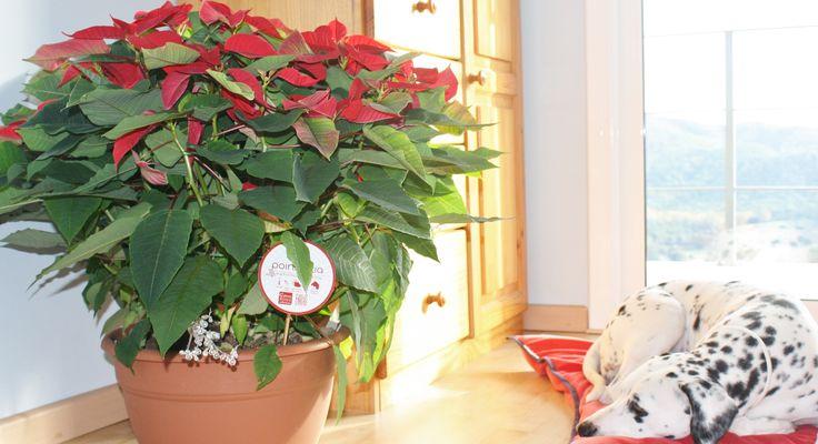 #poinsettiaplant #poinsettiasflower, #poinsettiashome #christmaspoinsettias #blackpot #decor #diy #jardineria #display