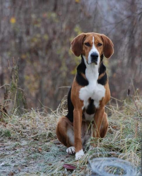 The Hamiltonstövare is a breed of dog, bred as a hunting hound. Description from pinterest.com. I searched for this on bing.com/images