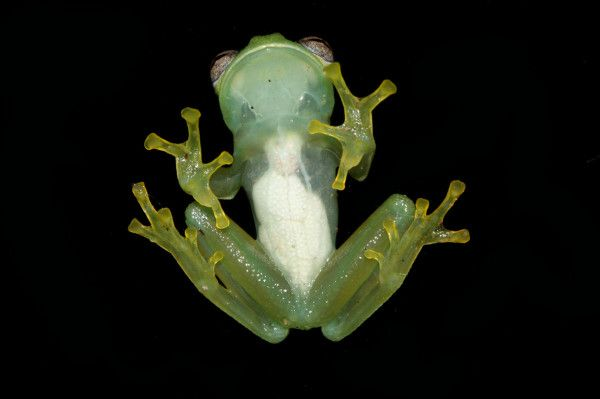 A photo of the ventral side of a transparent frog, Chimerella corleone