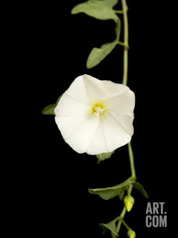 Studio Portrait of Bindweed Photographic Print by Joel Sartore at Art.co.uk