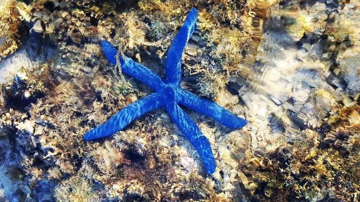 "📷 @sgiuly8  ""Underwater creature #seastar #coralreef #giliasahan"" #regram #starfish #blue #transparentwater #snorkeling #coralreef #explore #underwater #diving #underwaterphotography #giliislands #southlombok #lombok #indonesia #gili #gililombok #outdoorliving #travelawesome #doyoutravel #instatravel #blogger #getoutstayout #welltraveled #seetheworld #beachday #onthebeach #bikinilife"