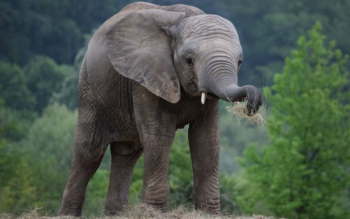 Download wallpapers small elephant, wildlife, Africa, elephants, forest, savannah