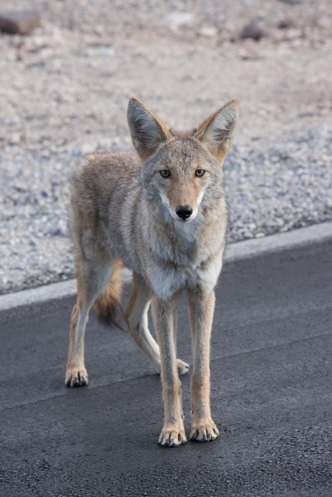 Coyote by Cory Futrell