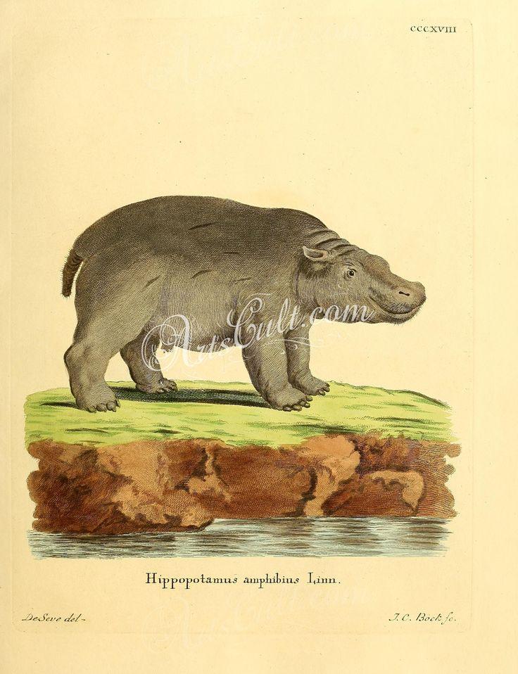 hoofed-00330 – Hippopotamus [2336×3041] – ac