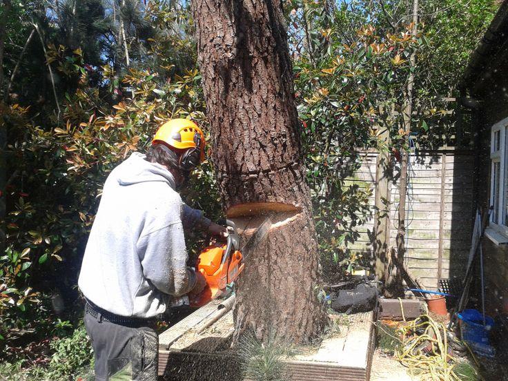 Cedar removal - Kilburn - April 15 - London Tree Surgeons