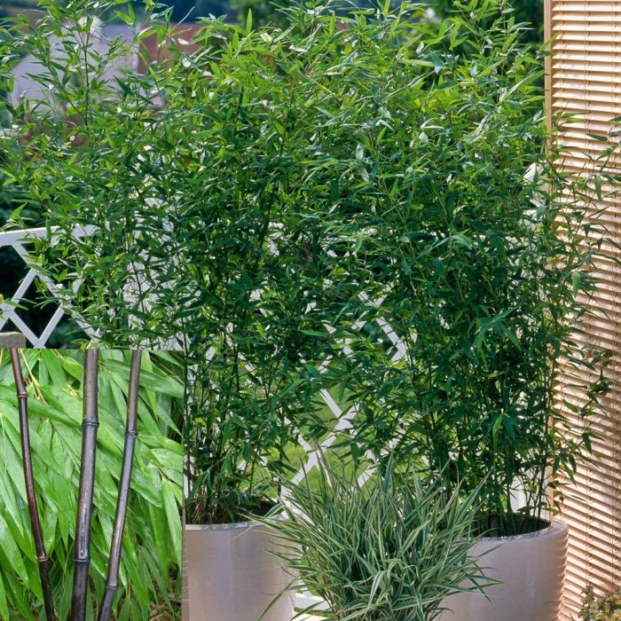 Phyllostachys nigra ( Black Bamboo)