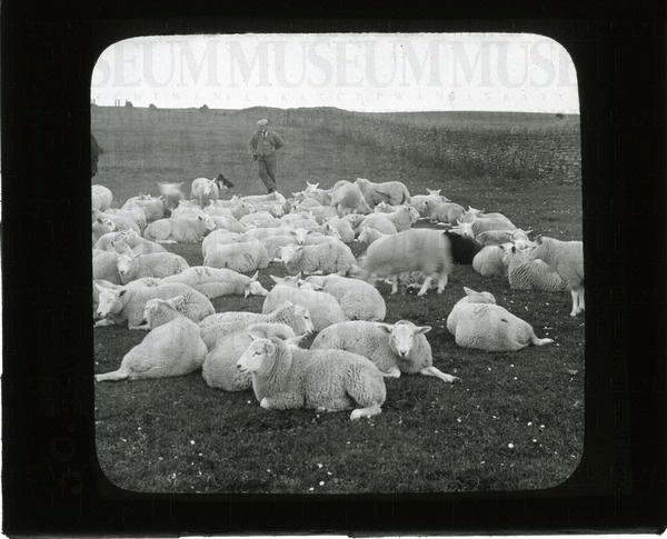 Sheep at Georgemas Fair, near Thurso, Scotland | saskhistoryonline.ca