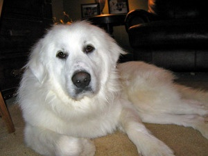 ADOPT ME ... Big Fluffy Dog Rescue ...  Marblehead, MA