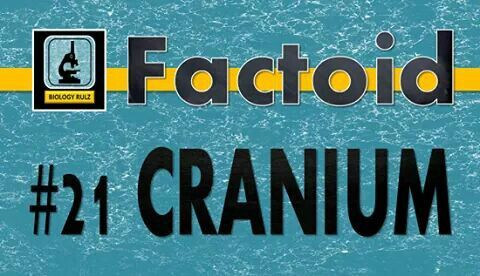 Did you know:  Your #cranium is that part of your #skull that surrounds and protects your #brain. Your cranium is formed from eight individual #bones. These bones are connected by #ligaments which form immovable joints called #sutures. The eight #CranialBones, then, include the: #Frontal #bone, #Parietal bones (2), #Temporal bones (2), #Occipital bone, #Sphenoid bone, #Ethmoid bone.  #biology #anatomy #skeleton #premed #nurse #medicalschool #nursingschool