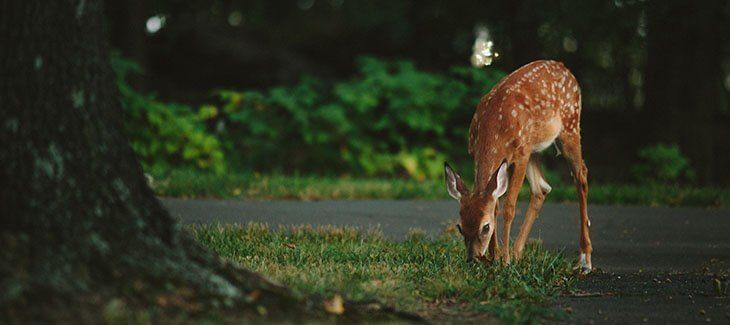 Deer Car Accident #deer #car #crash http://italy.nef2.com/deer-car-accident-deer-car-crash/  # Did You Have a Car Accident Involving a Deer? February 13, 2017 A century ago, white-tailed deer were rare on the East Coast. Now they number more than 20 million, and they re everywhere: in back yards, in parks and on the roads. Collisions with deer cause 200 human deaths and cost more than $4 billion per year. Don t assume it won t happen to you! Deer car accidents are more common than you think…