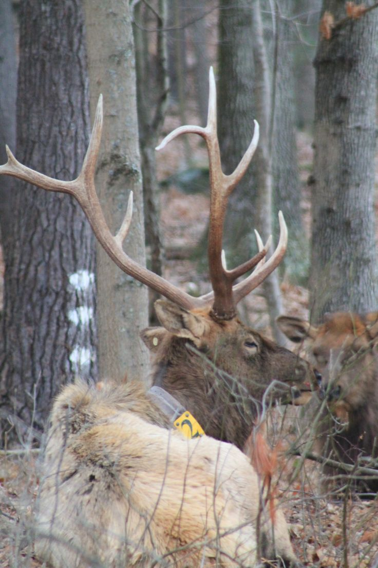 Roosevelt Elk - Willapa - U.S. Fish and Wildlife Service
