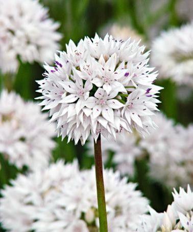Allium Graceful (Amplectens) heeft zuiver witte, stervormige bloempjes die dicht tegen elkaar staan en samen een perfecte bol vormen. De elegante witte bloemetjes zijn versierd met paarse stipjes.