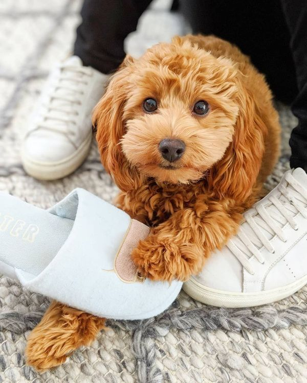 Pin By Slow Dreamy On Cute Dogs Cavapoo Puppies Cavapoo Goldendoodle