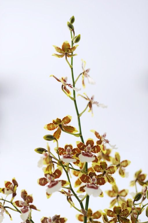 cambria achtige cambria like orchid pinterest. Black Bedroom Furniture Sets. Home Design Ideas