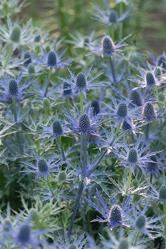 I've used these purple lovelies previously in a bouquet with red roses. They marvelously modernize an arrangement of otherwise traditional flowers with their fabulous texture and shape. And they last forever! Easy to find in floral at Whole Foods - hurray!  Sea holly 'big blue'