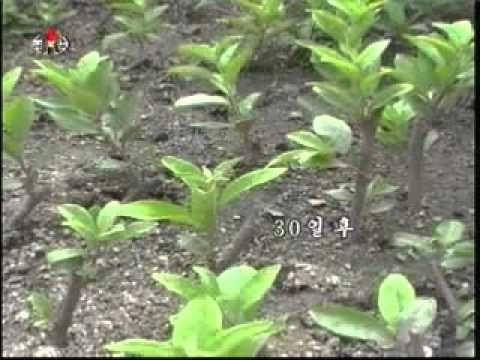 과학기술상식 큰열매보리수나무의 재배방법 - YouTube