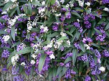 Hardenbergia violacea Happy Wanderer Native Lilac