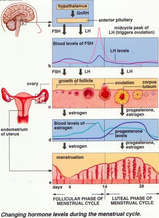 How to Study the Female Sexual Cycle in little TIME!
