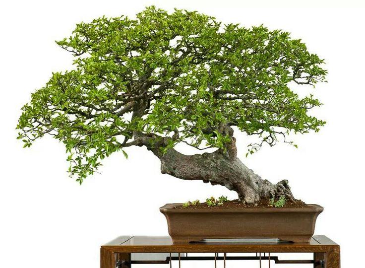 Chinese Elm via Bonsai Empire