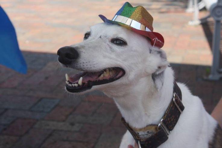 Julie's dog Stewart sporting his colorful hat! #AnimalHospital #Veterinarian #Pets #KAH #FrederickMaryland #KingsbrookAnimalHospital #Vet #CommunityEvents #FrederickPride #Whippet