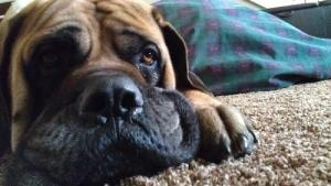 #McMinnville, #OR.  MOOSHU is an absolutely delightful 7 yr old #English #Mastiff. He is well socialized. Good with dogs and great with people of all ages. He has never been around cats. Mooshu will not be placed where he has access to chickens.  House trained. Please contact Susan (smay35@comcast.net) for more information about this pet. Pet ID: 011313 09.  Mastiff Rescue Oregon:  503-472-3792 or mastiffrescueoregon@comcast.net. #Adoptable #dog