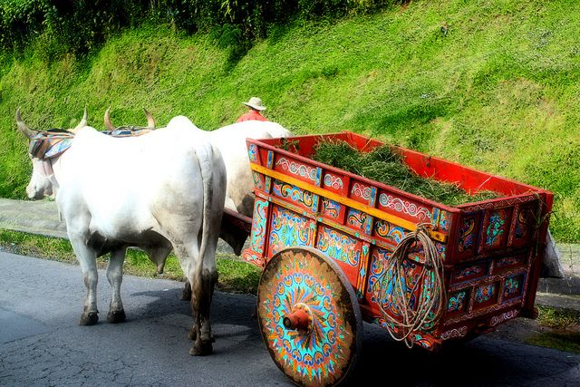 In Costa Rica, the natives still use some farming technique. This picture shows two bulls pulling a decorative wagon. Their power provides exercise for the bulls and an eco friendly alternative to getting transportation done.