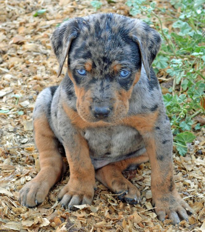louisiana catahoula leopard puppy