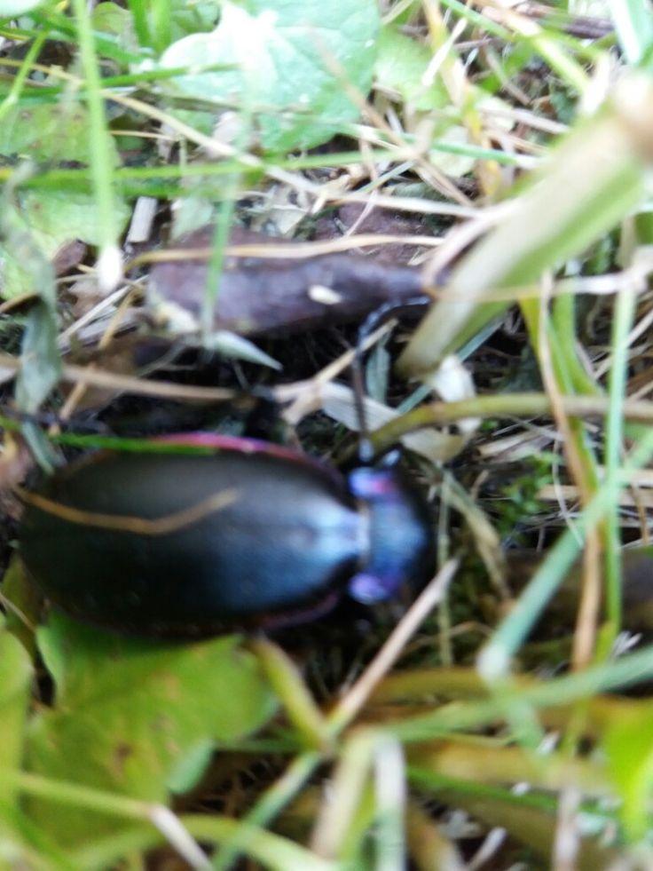 Název - Střevlík fialový (Carabus violacelus) Místo focení - strejdova zahrada