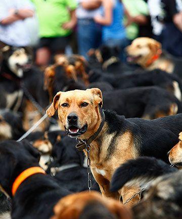 Huntaway dogs