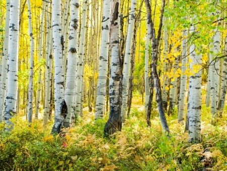 Dans la gamme san juan des montagnes Rocheuses du Colorado l automne se peupliers d un jaune d or qu Banque d'images