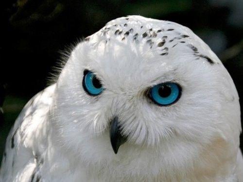 Owl Owl OwlColors, White Owls, Snowy Owls, Blue Eyes, Snow Owls, Beautiful Eye, Birds, Snowyowl, Animal