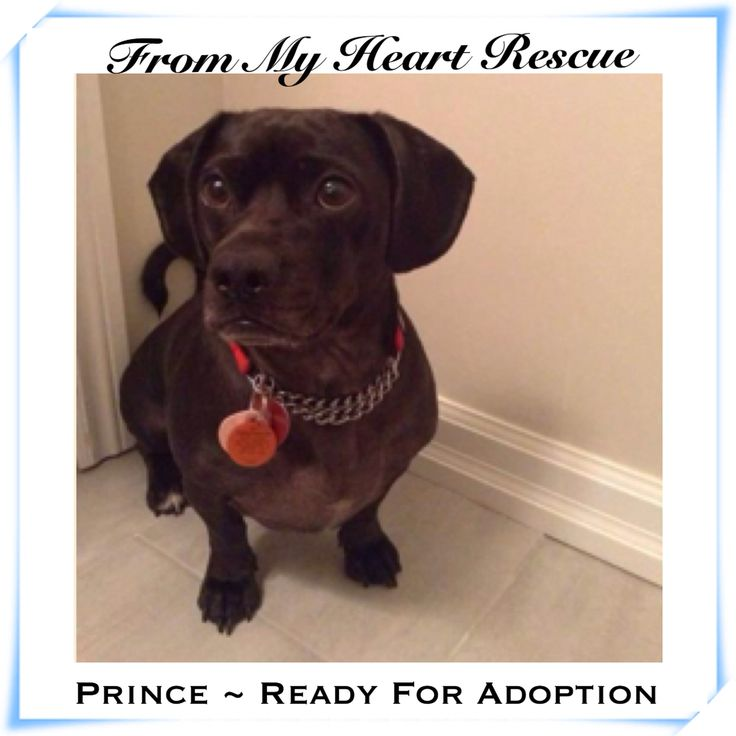 #Please ❤️+ #PIN #FMHR #FromMyHeartRescue #RescueWithoutBorders #SavingOneDogAtaTime ~ #Prince #Is #Ready #For #Adoption *Thank you *Info, Foster, Adoption, PayPal & e-transfer: frommyheartrescue@hotmail.com *Our Vets: Brock St. Animal Hospital 905-430-2644 *Fundraising & Volunteering: FMHRfundraising@hotmail.com *www.frommyheartrescue.com *www.petfinder.com/shelters/ON441.html *Find us on; Facebook, Twitter, Instagram, YouTube & Google+