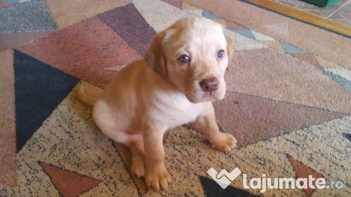 Pui câine Labrador