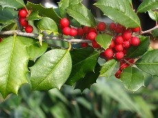 Propagation of Holly Shrubs with Holly Cuttings - Azevinho