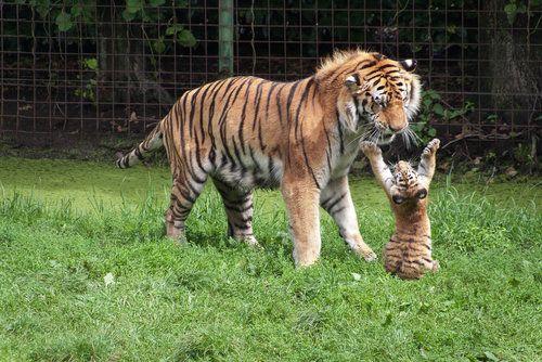 """I want a hug by ~xXDeathForYouXx."": Big Cat, Cat Food, Tiger Cubs, Dramatic Tigers,  Panthera Tigri, Baby, Tigers Cubs, Big Hugs, Animal"