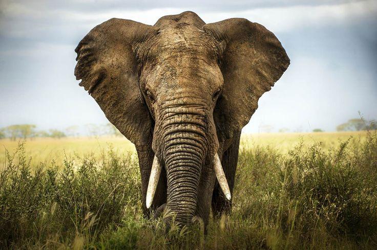 Afrikansk elefant tapet | Fototapet | Afrika | Djur | Stor