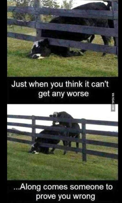 cow with head stuck under fence, just when you think it couldn't get any worse, along comes someone to prove you wrong,    bull mounts cow whose head is  stuck under fence,Aw lol