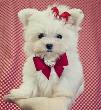 teacup maltese puppies for free 1000 ideas about teacup maltese puppies on pinterest 1109