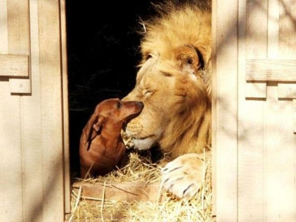lion-and-dog-friendship-2