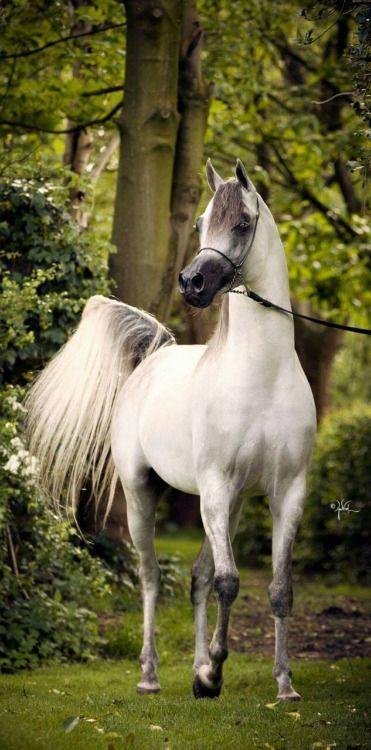 Beautiful Arabian horse posing in lush green forest.