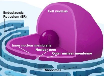 the rough endoplasmic reticulum (ER) with the ribosomes, the factories where DNA reproduction takes place. This is the continuity of the outer nuclear membrane that, via the thousands of nuclear pores, is in direct contact with the inner nuclear membrane surrounding the nucleus.