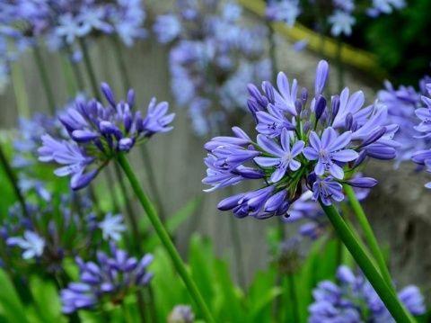 42 растения с синими цветками