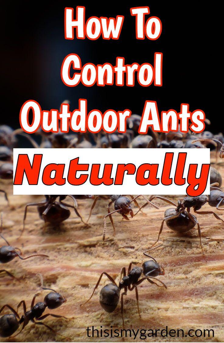 Do You Have Outdoor Ants In Your Walkways Flowerbeds Or Garden