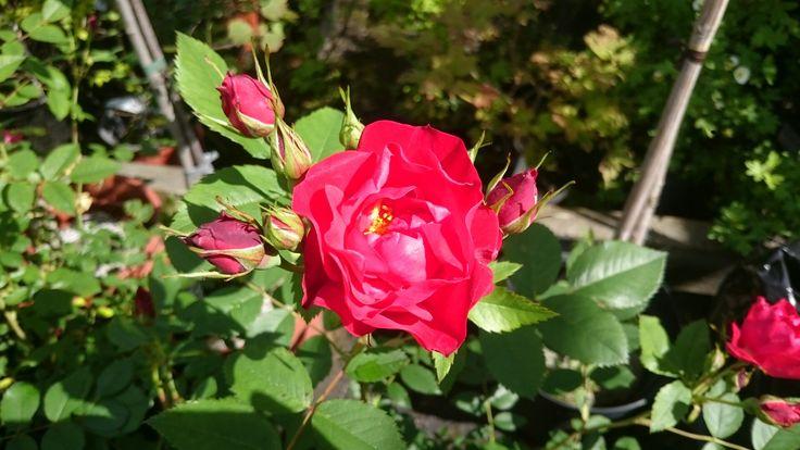 Rosa 'Adeleide Hoodless'